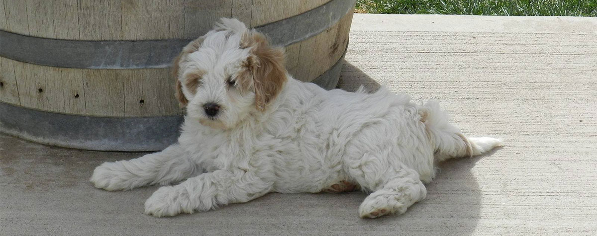About Puppy Patch Labradoodles, Multi-Gen Australian