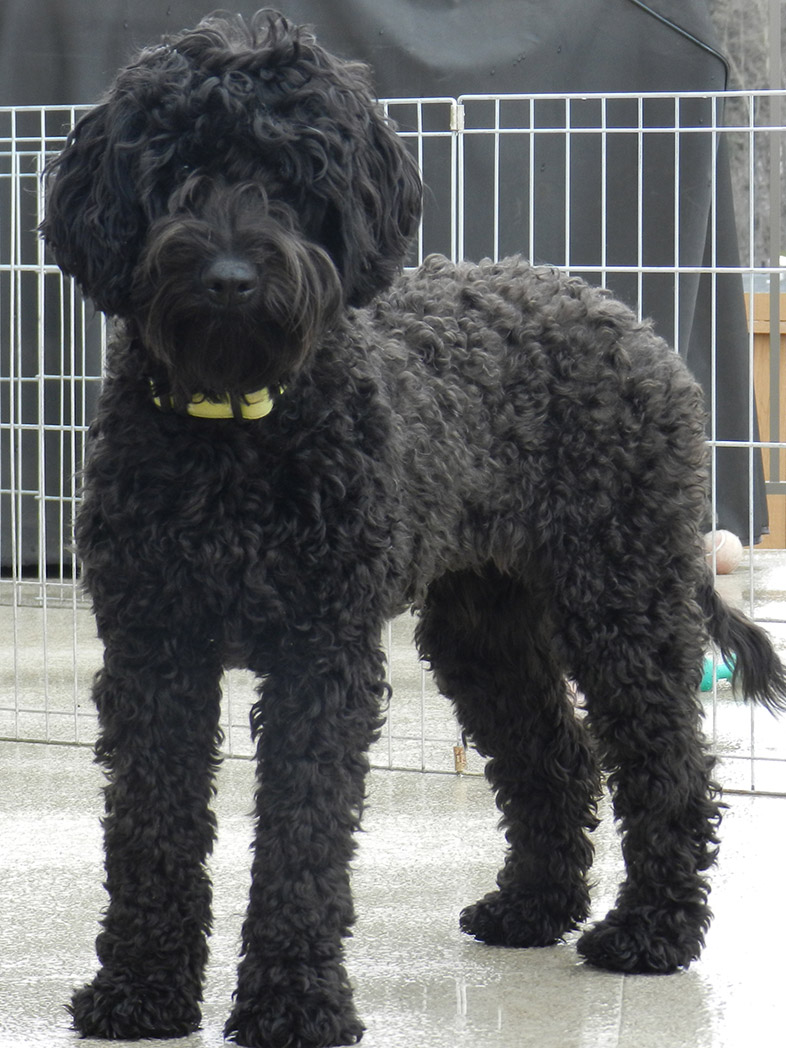 black labradoodle haircuts lulu medium puppy patch labradoodles