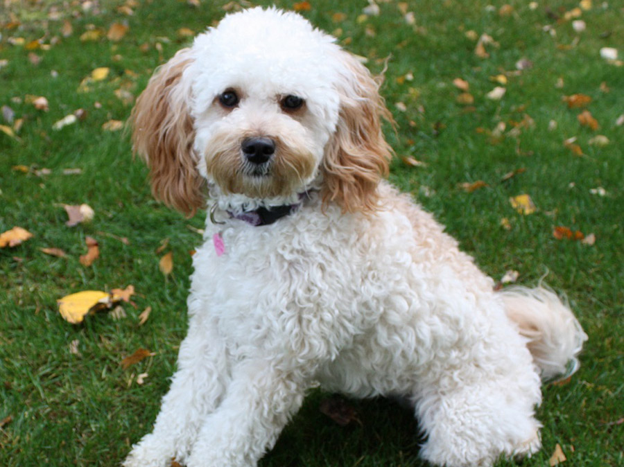 Zoey - Australian Labradoodle