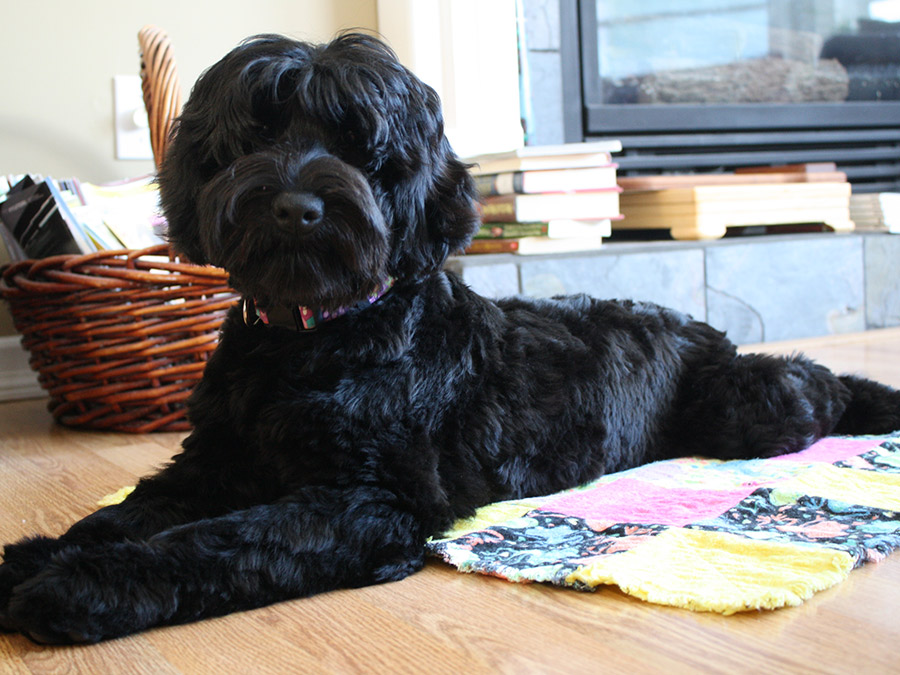 Louise Mini Puppy Patch Labradoodles