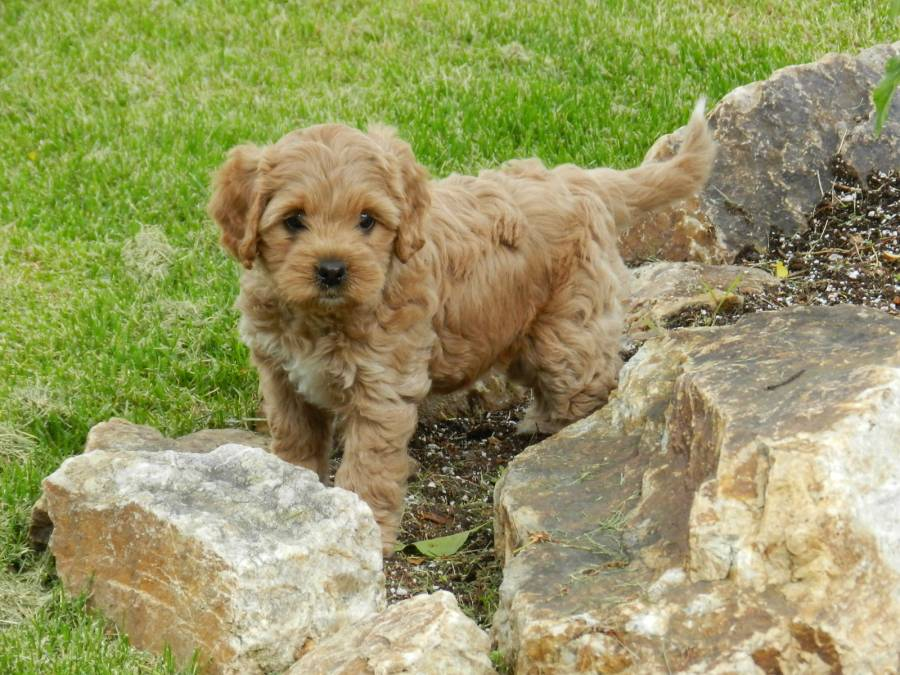 Labradoodle Puppy Training Tips From Puppy Patch Labradoodles In