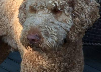 Teddy – F1 Goldendoodle 'standard'