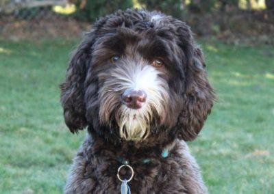 Winston – Australian Labradoodle 'medium'