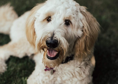Maisy – F3 Goldendoodle 'standard'