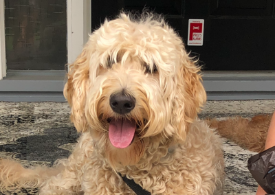 Piper – F3 Goldendoodle