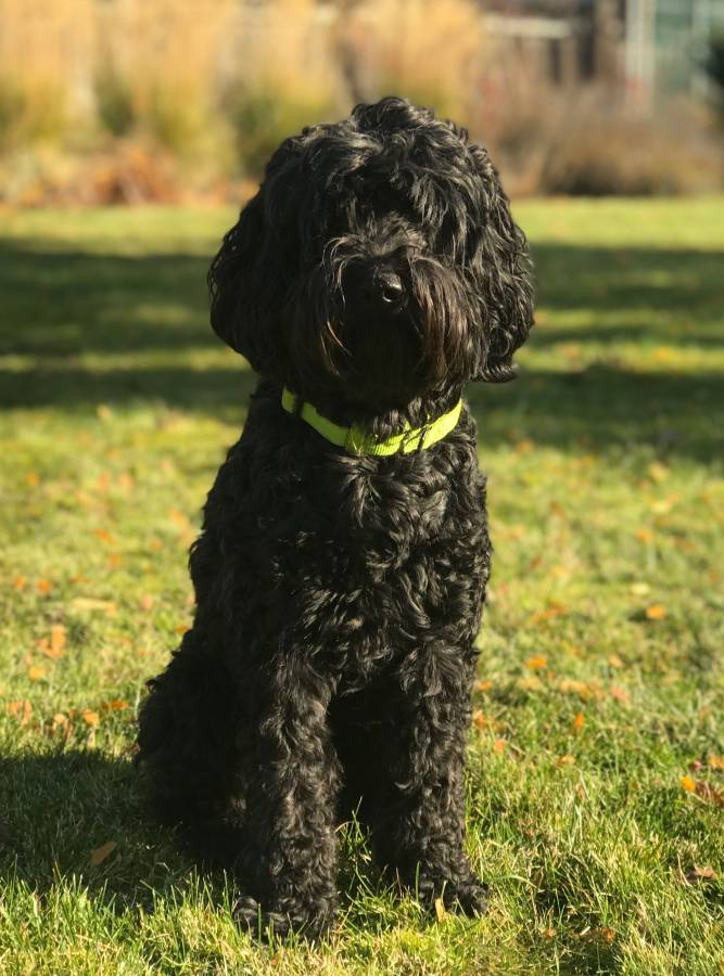 Labradoodle Puppies for Sale from Puppy Patch Labradoodles