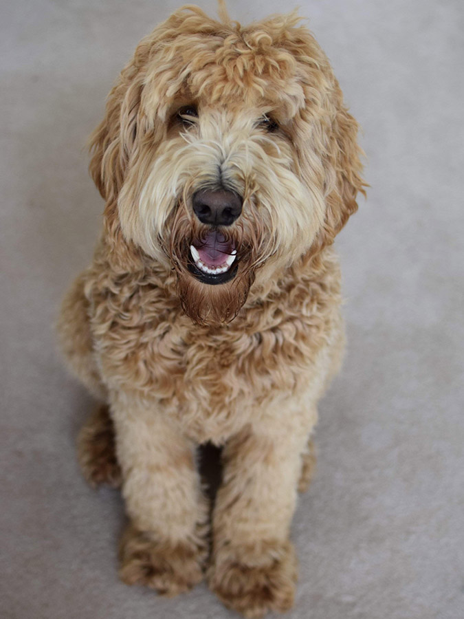 Goldendoodlesbernedoodles Puppy Patch Labradoodles