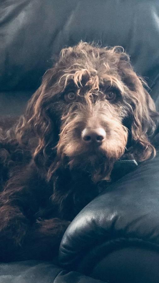 Loki - Australian Labradoodle