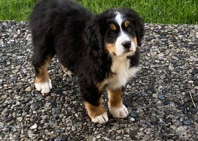 Harlow – Bernese Mountain